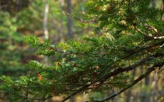 Тис дерево фото