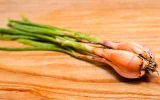 Лук-шалот: фото, особенности выращивания, секреты садоводов