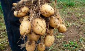 Почему картошка мягкая