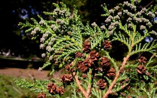 Кипарисовик горохоплодный 'Плюмоза', фото, описание, посадка, уход, применение