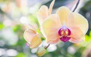 Орхидеи: легенды и факты