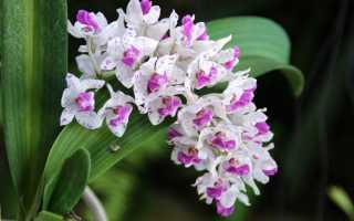 Виды фаленопсисов, имеющие ароматные цветки. Орхидеи