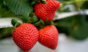 Клубника в теплице круглый год: как бизнес построить правильно и получить высокую рентабельность при выращивании ягоды?