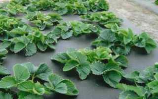 Выращивание садовой земляники в теплице, под пленкой