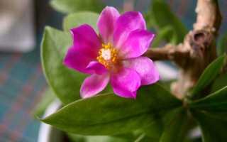 Переския шиповатая: фото, условия выращивания, уход и размножение