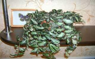 Пеллиония: фото, условия выращивания, уход и размножение