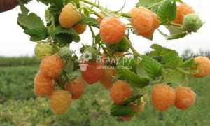 Посадка малины боярышниколистной и уход открытом грунте