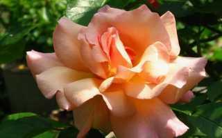 Роза «Compassion», фото, описание, условия выращивания, болезни и вредители