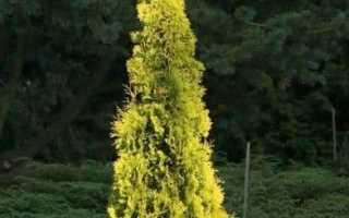 Туя западная Еллоу Риббон (Йеллоу Риббон, Yellow Ribbon): фото и описание, высота, отзывы
