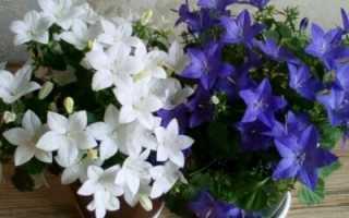 Выращивание кампанула из семян в домашних условиях: пошаговая инструкция