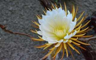 Селеницереус золотистоцветковый: фото, условия выращивания, уход и размножение