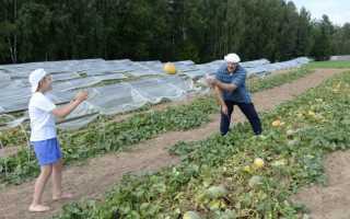 Всё о выращивании дыни в Подмосковье – выбор сорта и отзывы
