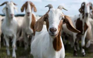 Болезни коз: виды заболеваний, основные симптомы и их лечение