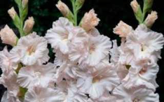Гладиолус гофрированный Сноу Фриззл, описание, фото, условия выращивания