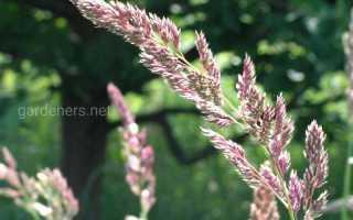 Канареечник тростниковый, описание, фото, сорта, условия выращивания, применение