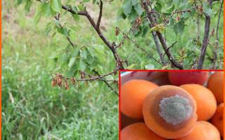 Монилиоз на абрикосе: чем лечить, препараты и профилактика от заболевания
