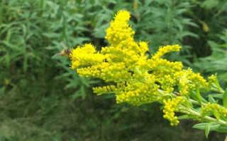 Золотая розга, золотарник, применение при туберкулезе, лечение подагры, желчегонное