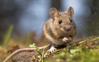Репелленты от мышей