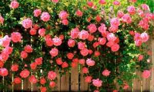 Виды и сорта роз. Выращивание и посадка роз
