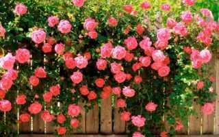 Роза собачья: фото, условия выращивания, уход и размножение