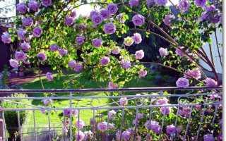 Роза индиголетта плетистая – посадка, уход, фото и отзывы