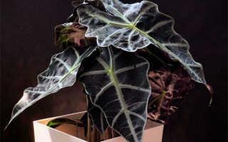 Алоказия: фото и уход в домашних условиях, описание видов