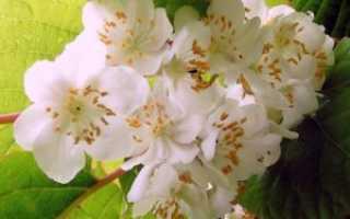 Актинидия: выращивание, уход, сбор и хранение урожая