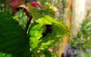 Вишневая тля, описание, фото, условия выращивания, меры борьбы