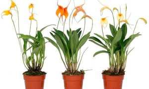 Орхидея масдеваллия: уход в домашних условиях, фото, таблицы