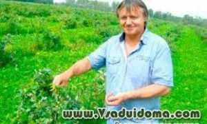 Урожайность голубики с 1 га