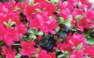 Грунт для азалии: необходимый состав земли для посадки комнатного рододендрона, какую почву любит цветок