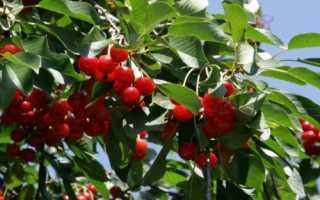 Выращивание вишни и её полезные особенности