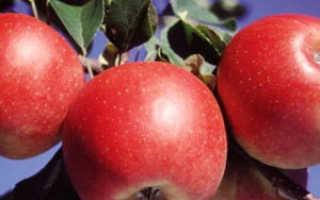 Яблоня эдера описание фото