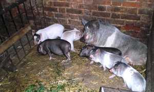 Сарай для свиней своими руками фото