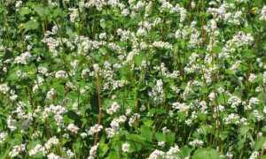 Гречиха посевная и Гречиха татарская: фото, условия выращивания, уход и размножение