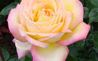 Розы бутримовых