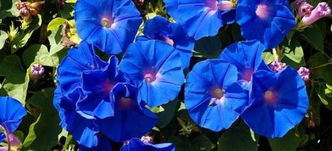 Ипомея: посадка и уход в открытом грунте, фото цветов, сорта