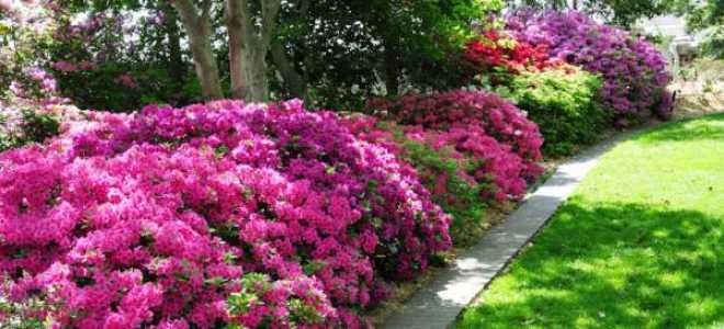 Дендрон цветок