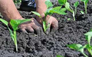 В каком возрасте высаживать рассаду перца в открытый грунт