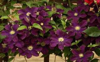 Клематис крупноцветковый Варшавска Найк, описание, фото, условия выращивания