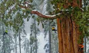 Лесные великаны: самые удивительные факты о секвойях
