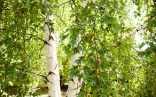 Береза далекарлийская: фото, условия выращивания, уход и размножение