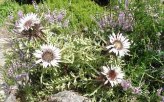 Колючник бесстебельный: фото, условия выращивания, уход и размножение