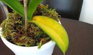 Почему у орхидеи растут деформированные листья?