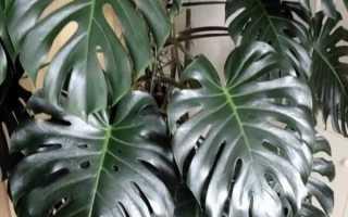 Влага на кончиках листьев у диффенбахии, монстеры, филодендрона и сингониума