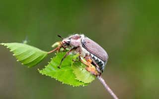 Всё о майском жуке или хруще: основная информация и фото вредителя