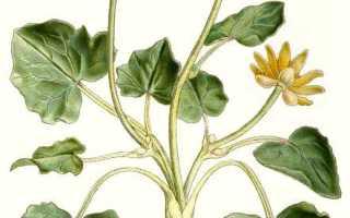 Чистяк весенний: фото, условия выращивания, уход и размножение