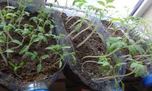 Рассада помидоров без пикировки: в пятилитровых бутылках и др. методы