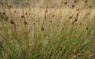Ситник развесистый: фото, условия выращивания, уход и размножение