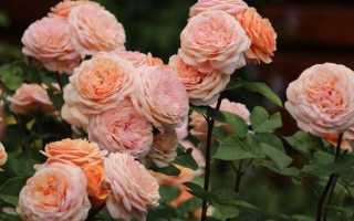 Роза ширли